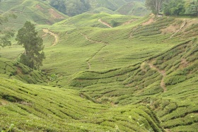 Cameron Highlands (294)