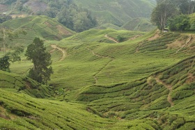 Cameron Highlands (321)