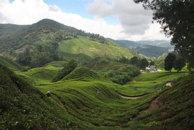 Cameron Highlands (358)