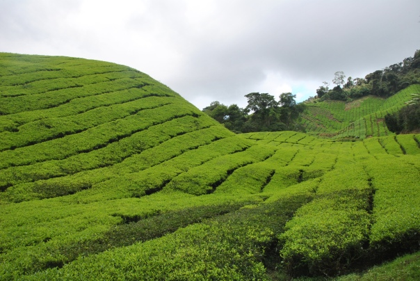 Cameron Highlands (366)