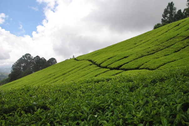 Cameron Highlands (377)