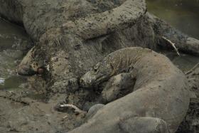 Vida abord i dragons de Komodo (120)