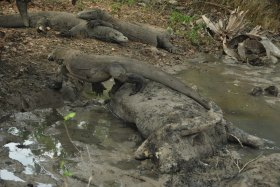 Vida abord i dragons de Komodo (122)