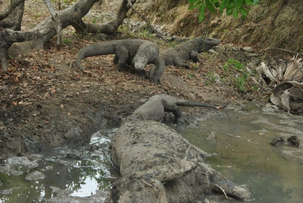 Vida abord i dragons de Komodo (130)