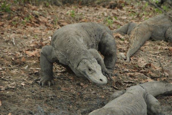 Vida abord i dragons de Komodo (132)