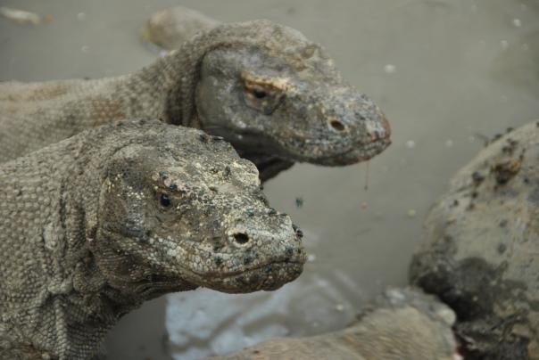Vida abord i dragons de Komodo (138)