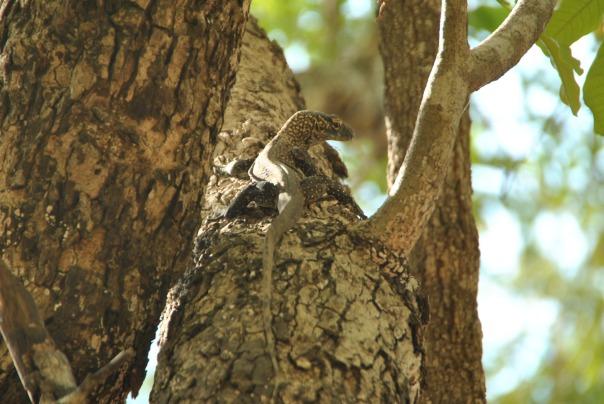 Vida abord i dragons de Komodo (84)