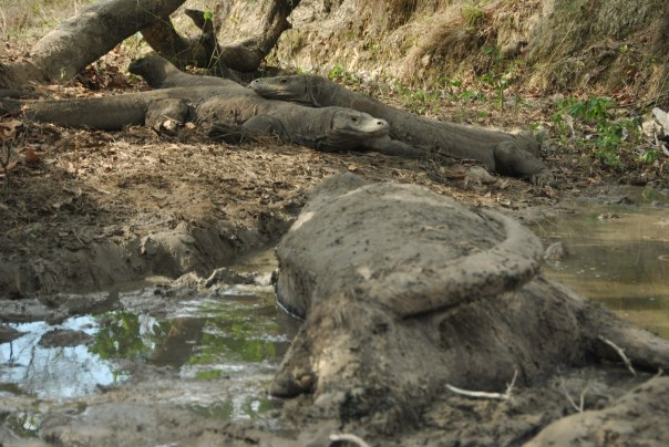 Vida abord i dragons de Komodo (92)