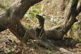 Vida abord i dragons de Komodo (94)
