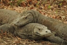 Vida abord i dragons de Komodo (104)